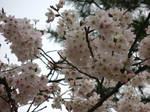 shaded sakura at todaiji