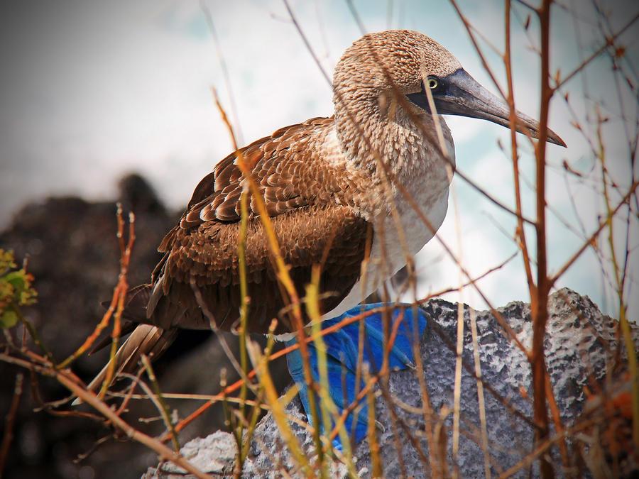 Booby Bird by MyPhotoParadise