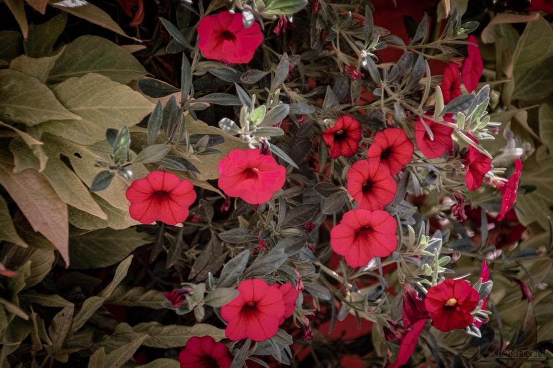 Autumn Red Sdim3686 by Jonitron