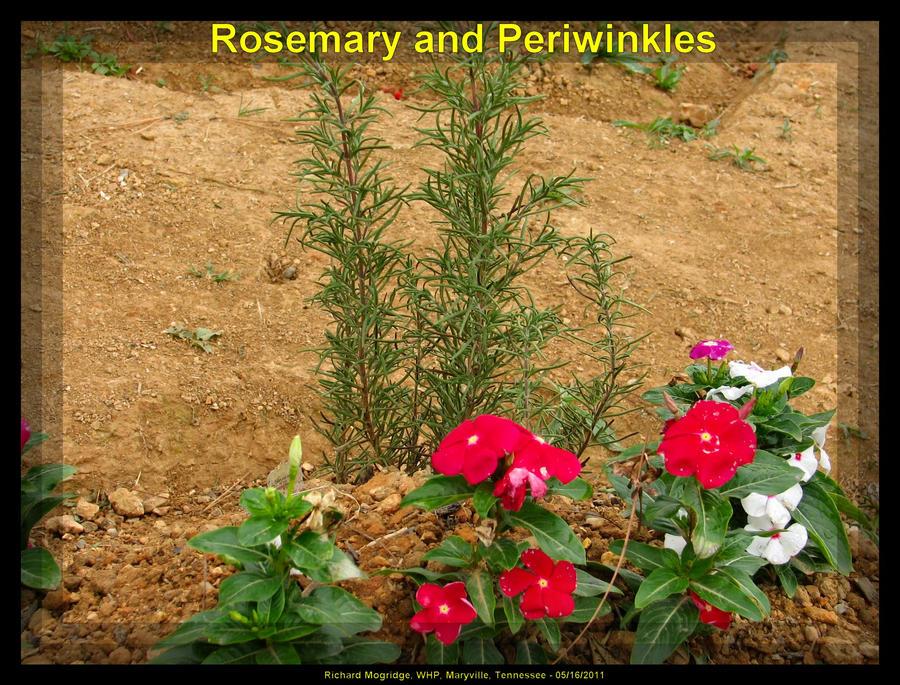 Rosemary 3 By Slowdog294 On Deviantart