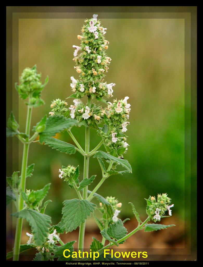 Catnip Flowers By Slowdog294 On Deviantart