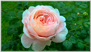 A Rain Kissed Rose for Eileen