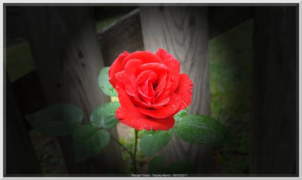 Ghost Rose at Tarpley Manor