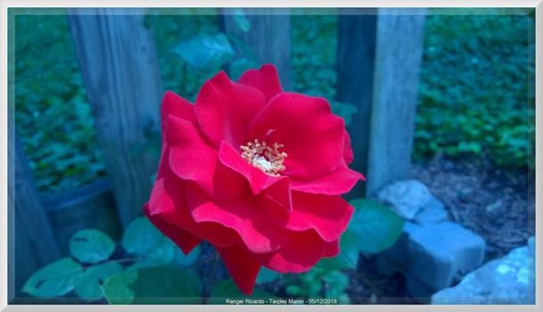 Ghost Rose of Tarpley Manor Blooms Again