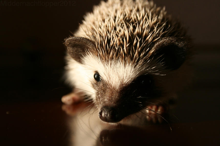 My little hedgehog by Middernachtlopper