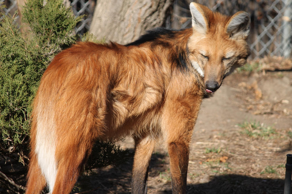 Maned Wolf Pictures Maned Wolf Adult by Sibertyger