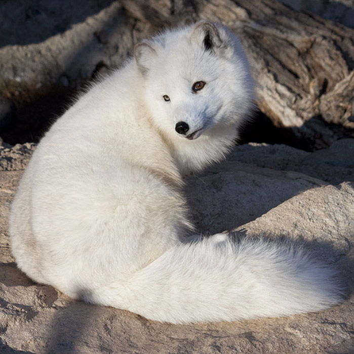 how to draw a baby arctic fox