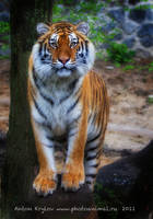 Photo Session another Tiger 5 by Jagu77