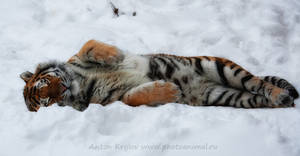 Tiger on the snow 7