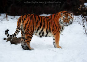Big kitty by Jagu77