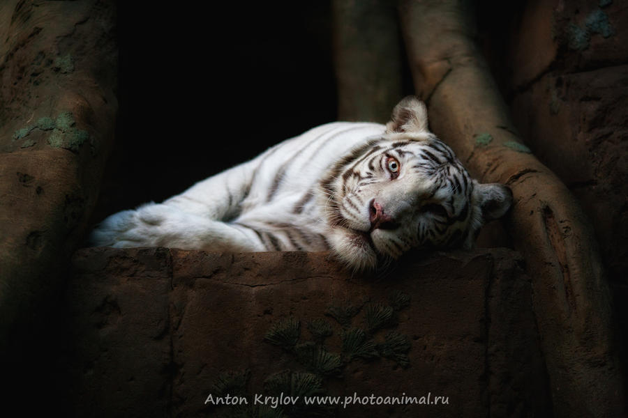 Gaze of  white tiger by Jagu77