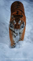 Knight of a nights Tiger by Jagu77