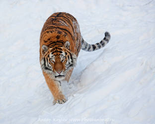 The tiger king by Jagu77