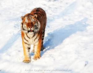 Tiger on the snow 9
