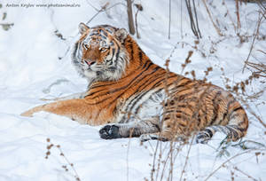 Tiger on the snow 10