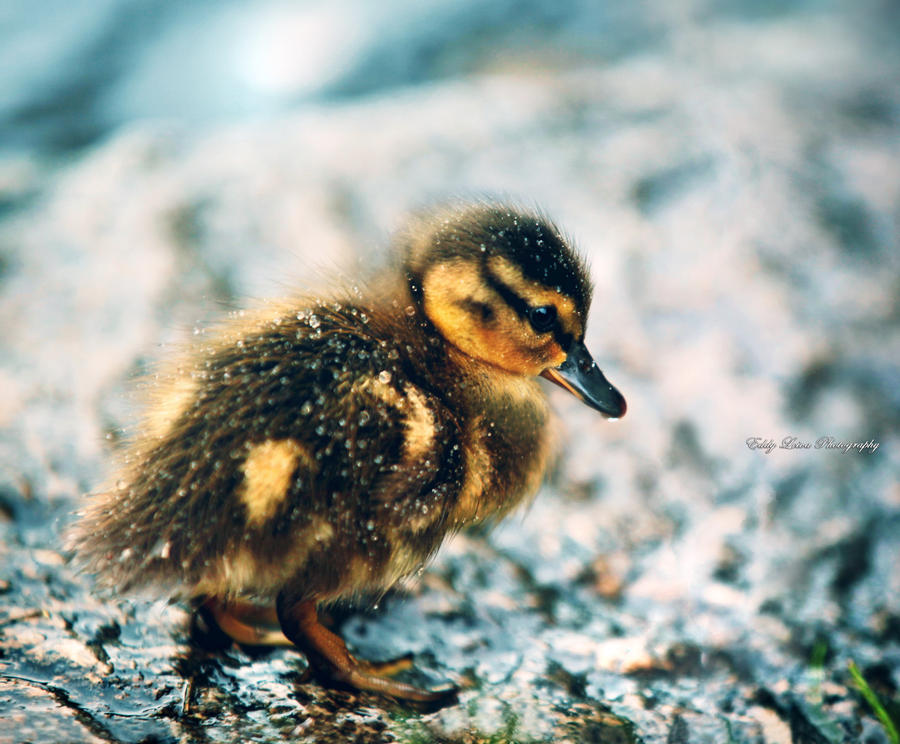 The Lonely Duckling by MyLifeThroughTheLens