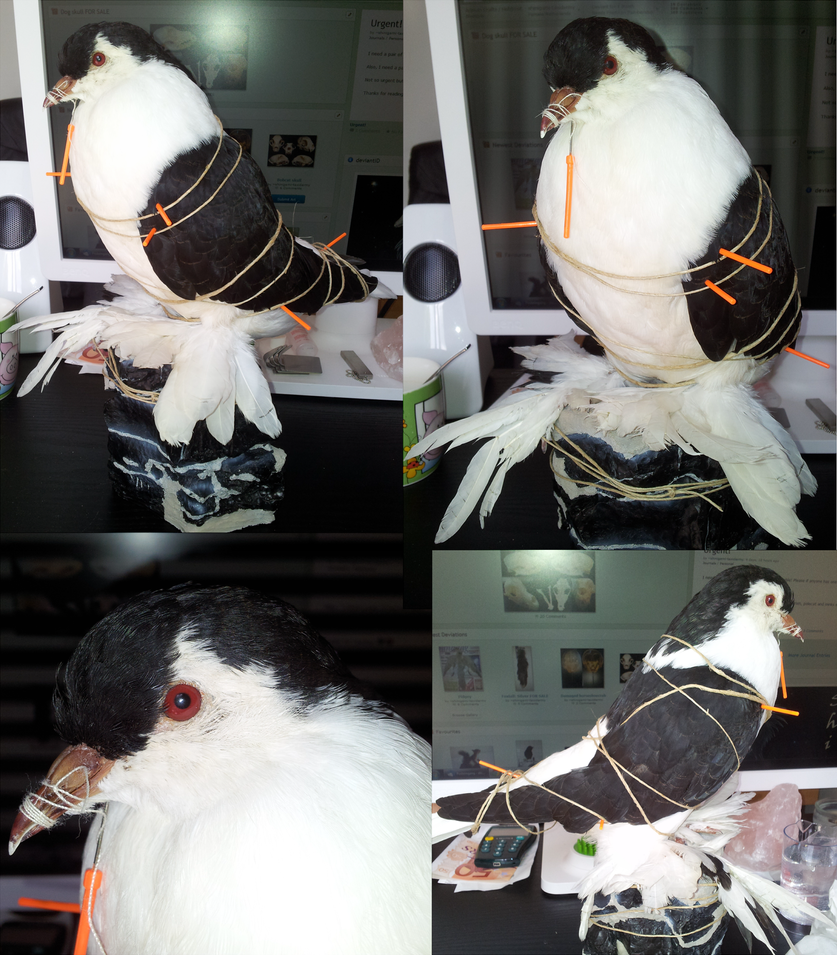 My first mount by shinigami-taxidermy