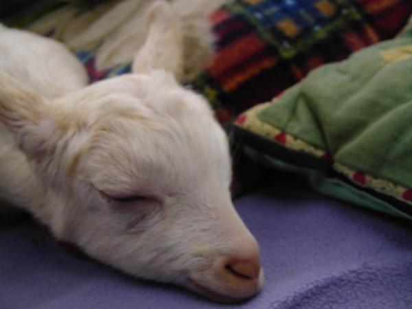 http://fc07.deviantart.net/fs41/i/2009/031/4/5/Sleeping_Goat_by_Lillamagal.jpg