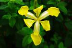 Yellow water Iris