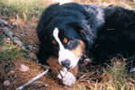 Tia the Bernese Mountain Dog