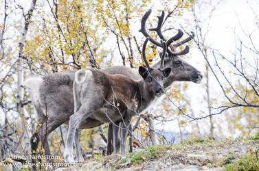 Reindeer Mother And Calf
