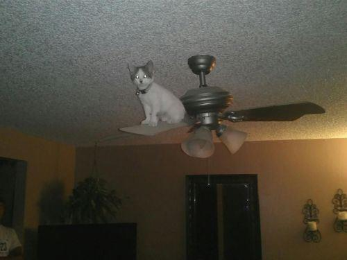 Cat on ceiling fan by emperor ryuma on deviantart cat on ceiling fan by emperor ryuma mozeypictures Choice Image