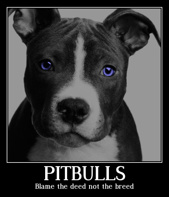 What is a colby pit bull dog?