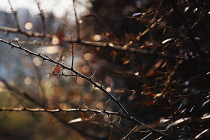 Thorns by TigresSinai