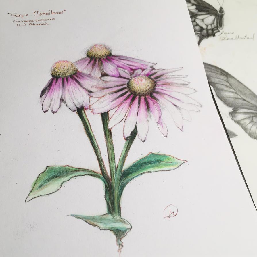echinacea purpurea by JuleeMClark