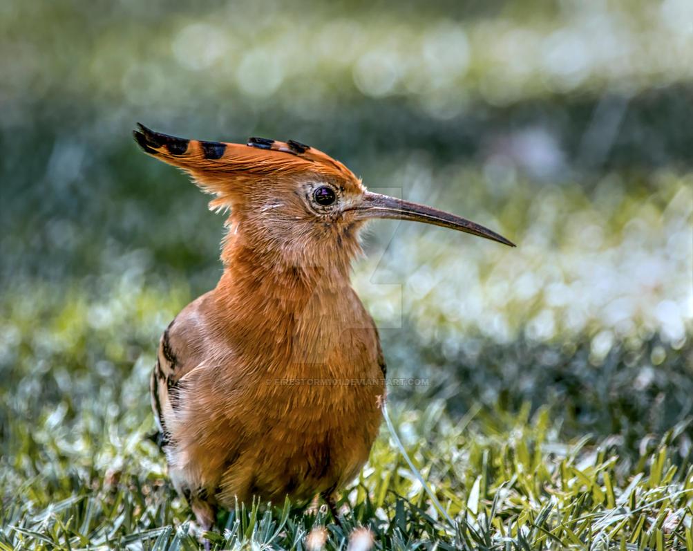 Hoopoe Bird HDR by FireStorm101