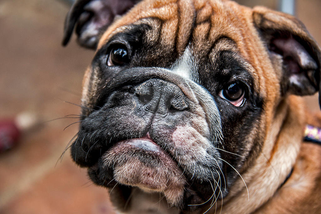 British Bulldog Puppy by FireStorm101