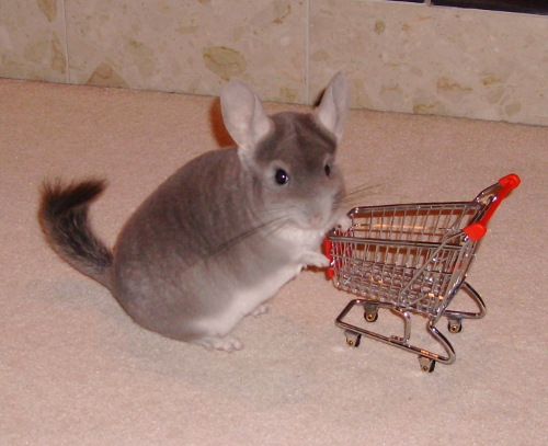 Chilli the Chinchilla 20 by Drazhar24