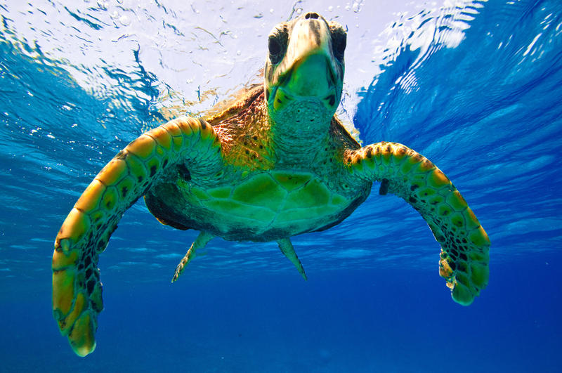 Green Turtle 2 by leighd