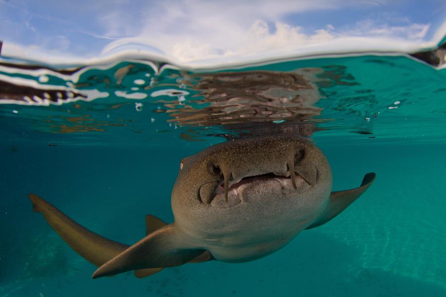 Nurse shark by leighd on deviantart for Baby sharks for fish tanks