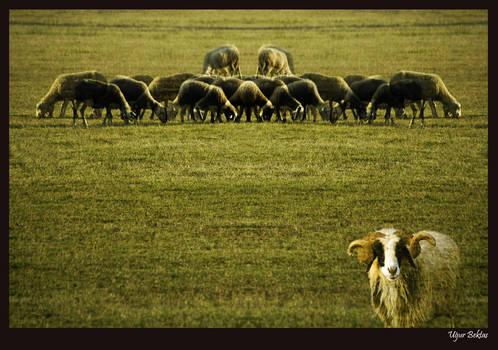 Sheep And Ram