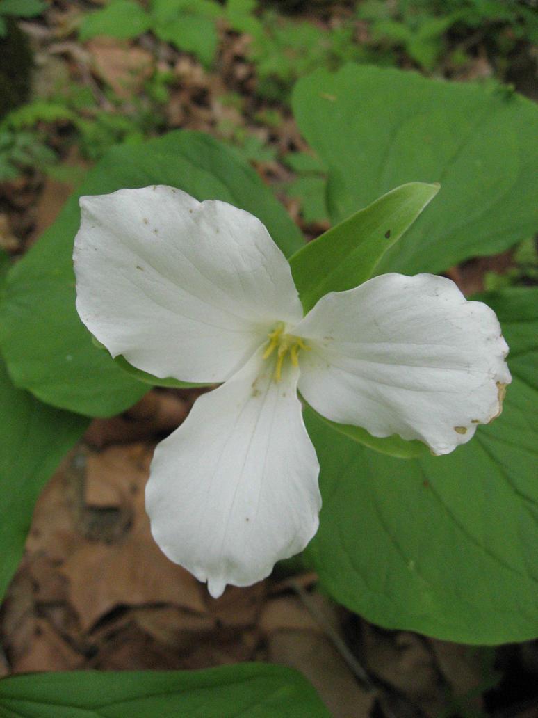 White Flower by reydelbolero