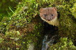 Stoat in the Hole