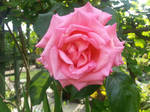 Pink rose by immortaljellyfish00