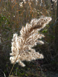 Grass Seed Feather