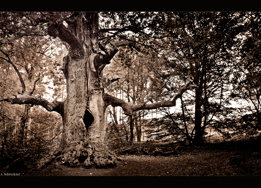 The Oak Elder by Limaria