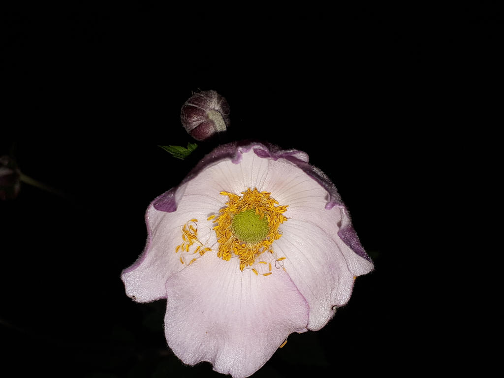 Pink Lady Flower In The Night By Renhob27 On Deviantart