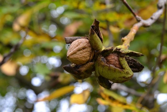 walnut by Luczynka