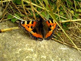 Butterfly 1 by wodny