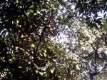 Avocado Grove Canopy 1