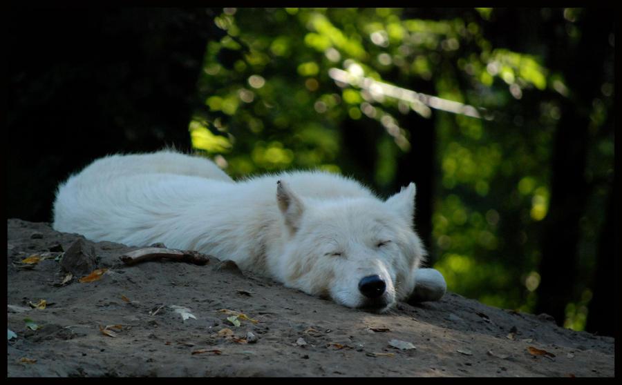 http://fc00.deviantart.net/fs71/i/2010/246/0/d/wolf_by_morho-d2xwskq.jpg