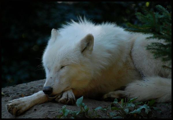 http://fc07.deviantart.net/fs70/i/2010/250/6/a/sleeping_arctic_wolf_by_morho-d2y7y1c.jpg