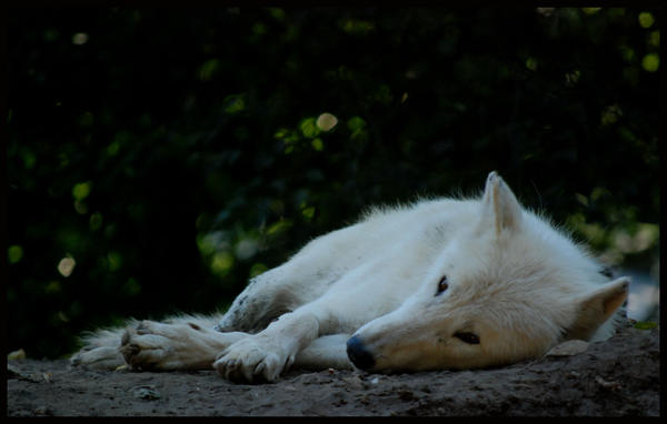 http://fc00.deviantart.net/fs71/i/2010/257/5/6/arctic_wolf__im_watching_you_by_morho-d2ypezd.jpg