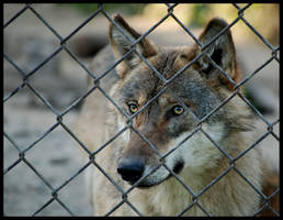 eurasian wolf: rescue me by morho