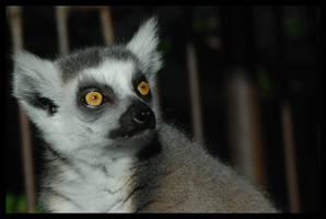 lemur: shining eyes by morho