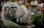 pallas's cat or manul